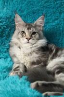 Koтята мейн кун из питoмникa