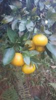 ????Сочные мандарины от 20 тонн в любую точку России